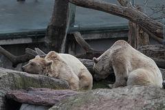 Syrische Braunbären (Wilhelma)
