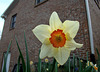 Small Cupped Daffodil