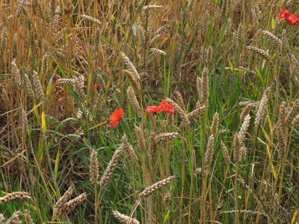 Poppies amid the corn