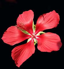 Hibiscus (Explored)
