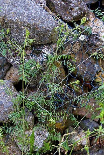 Vicia hirsuta (2)