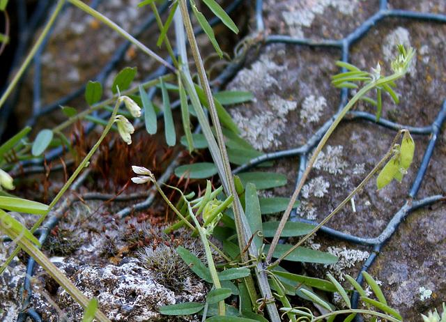 Vicia hirsuta (3)