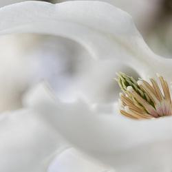Detail of a Magnolia Stellata Blossom
