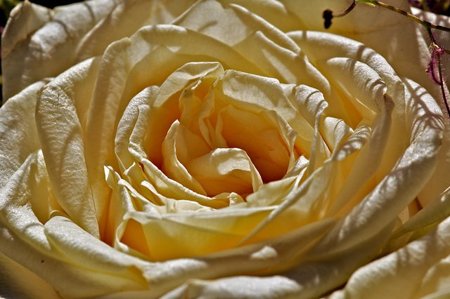 Im Strudel der Rosenblätter