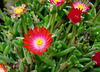 Ice Plant 'Jewel of the Desert Topaz'