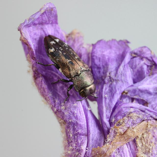 Neospades rugiceps, PL2386C, M