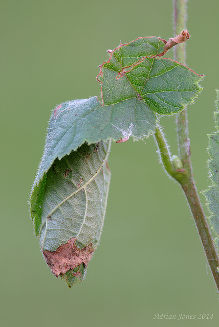Apoderus coryli larval case.