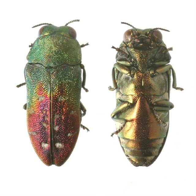 Neospades chrysopygia, PL0129