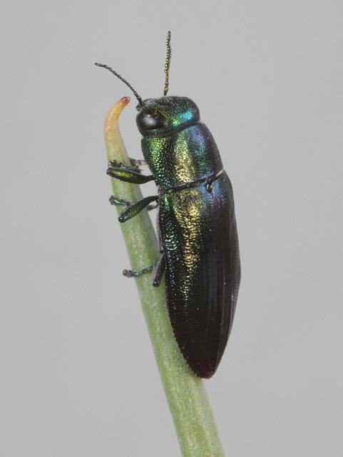 Melobasis obscurella, PL1528B