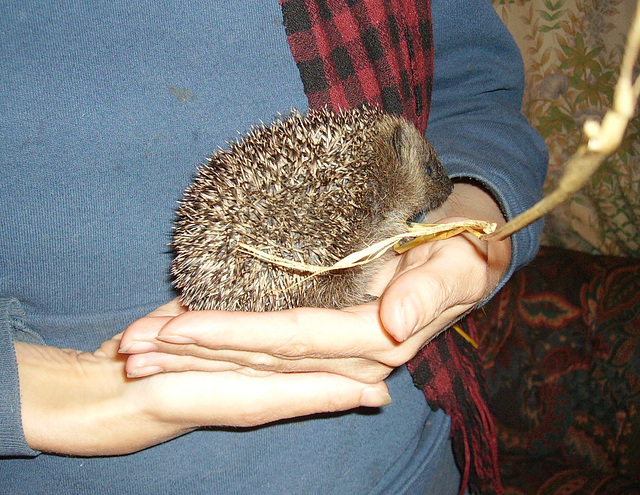 hedgepigs - rescued late 2008
