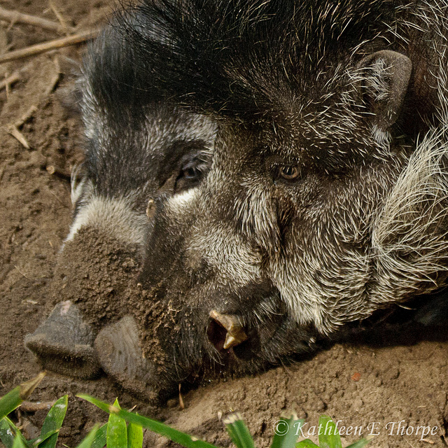 Bearded Pigs 111213
