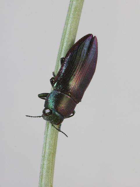 Melobasis obscurella, PL1528A