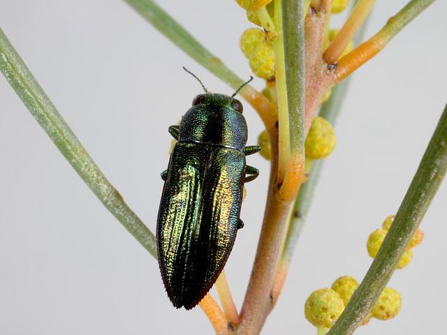 Melobasis obscurella, PL1527