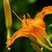 Lilie en profil