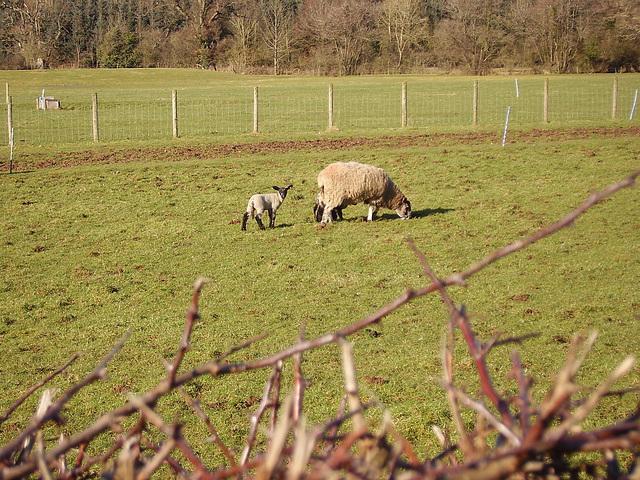 oad - curious lamb
