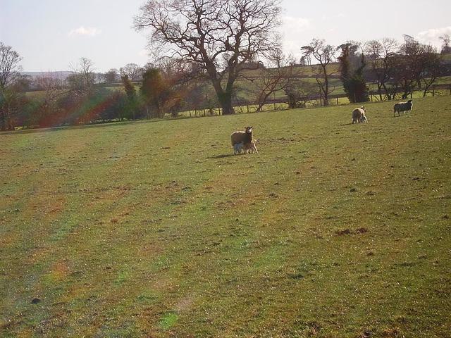 oad - feeding lambs