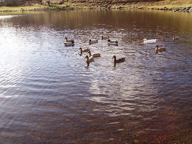oaw - ducks on a tarn
