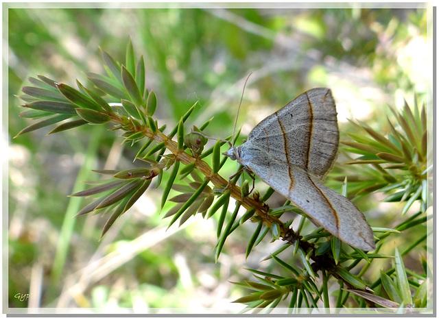 Scotopteryx luridata sur genêvrier.