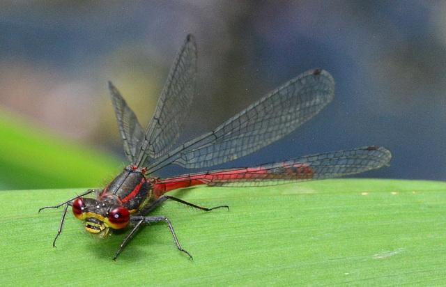 Large Red Damselfly, Pyrrhosoma nymphula