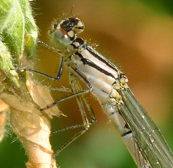 Female Common Blue Damselfly, Enallagma cyathigerum