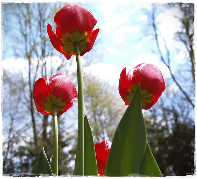 Tulip & the firmament