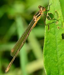 Emerald Damselfly, Lestes sponsa