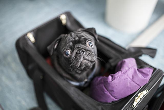 ein mops kam in die tasche...