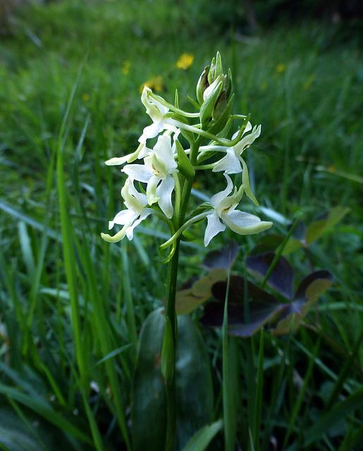 orchidea - Platanthera bifolia