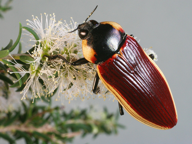 Temognatha flavomarginata, PL1428