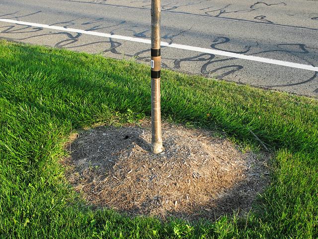Street tree circular mound.