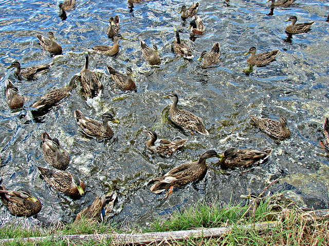 A mass of ducks