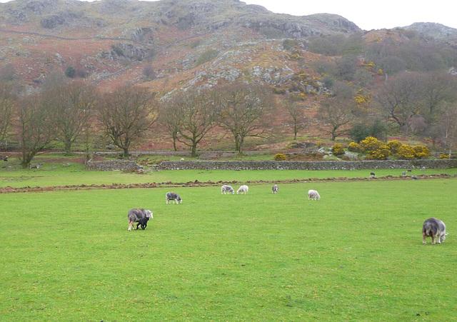 oad - Herdwick lamb