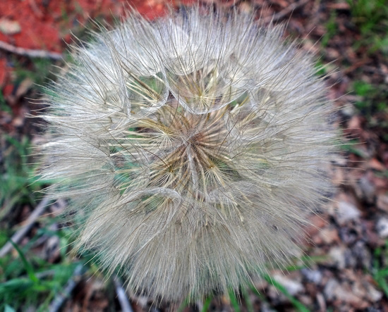 Wonderful seedhead and its the size of a big tennis ball !