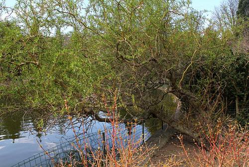 Salix matsudana Tortuosa Aureopendula =erythroflexuosa