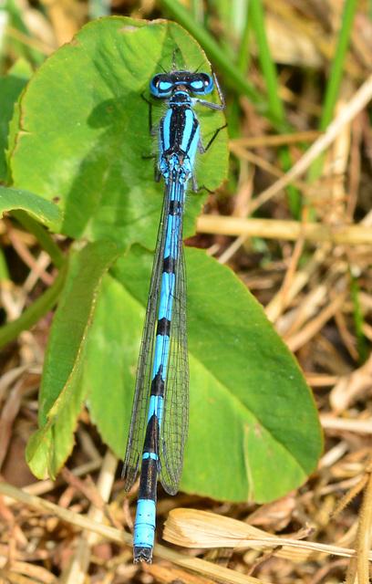 Azure Damselfly, Coenagrion puella.male