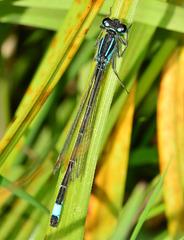 Azure Damselfly, Coenagrion puella.female