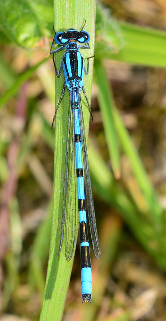Common Blue Damselfly, Enallmagma cyathigerum.