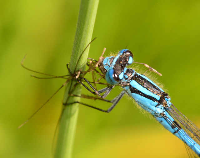 Damselfly eating a spider