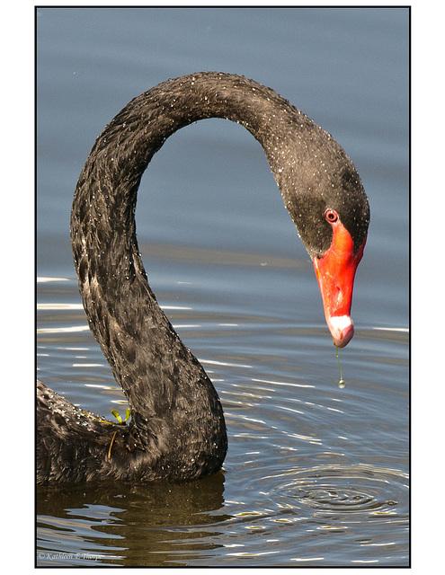 Swan Feeding Headshot