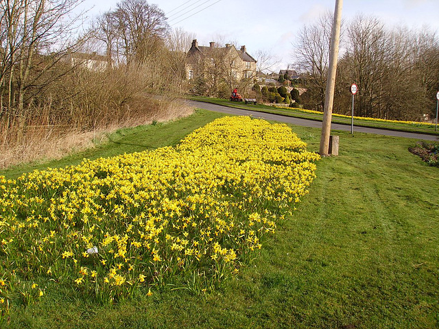 gbw - Yellow Cloud of west side daffs