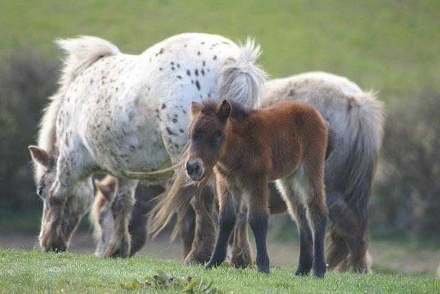 oad - ponies