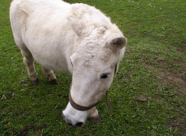 oad - pit pony (retired)