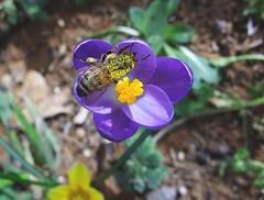 Crocus and Honey Bee 12-3-2013