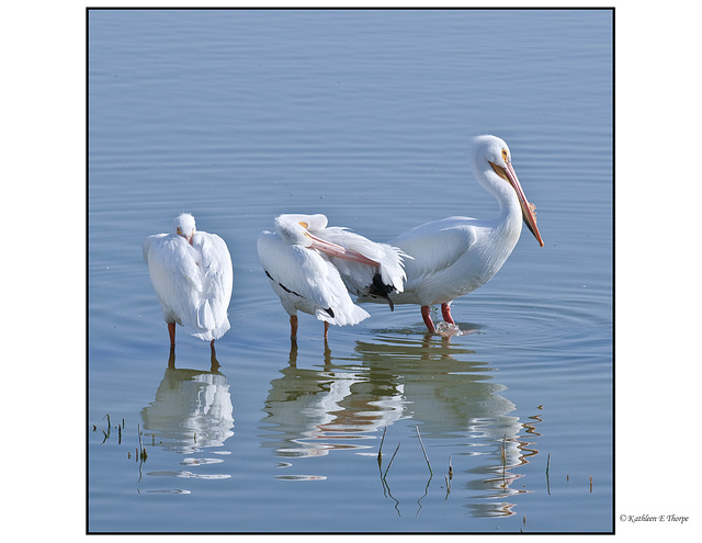 White Pelican First Encounter
