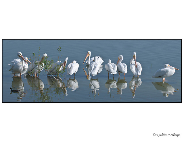 White Pelican Panorama