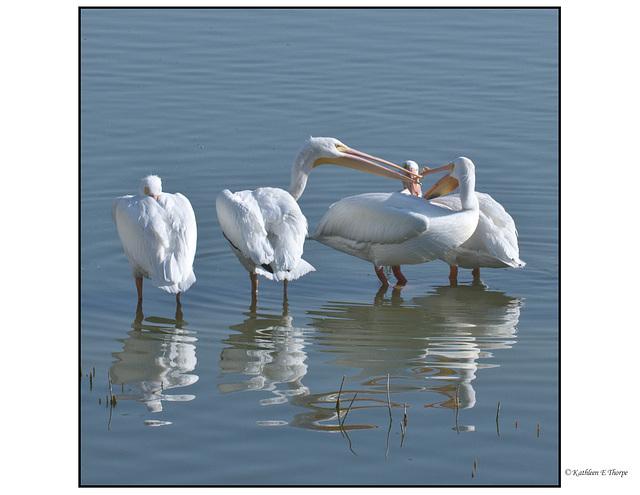 White Pelican Yadda Yadda