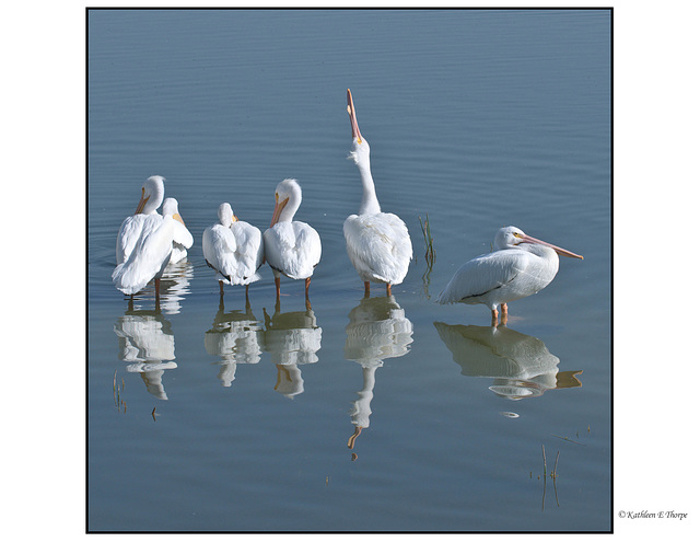 White Pelican Line-up