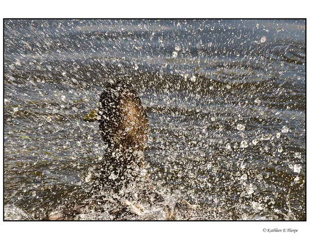 Mallard Splashing Headshot