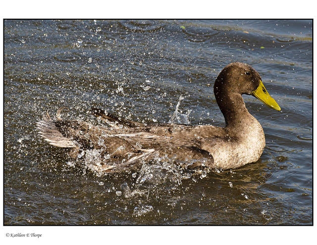 Mallard Hen Splashing