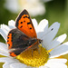 Small Copper (Lycaena phlaeas) butterfly